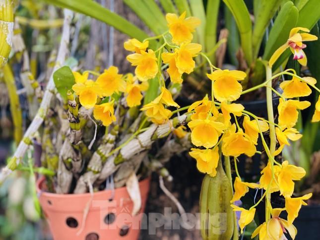 Hàng nghìn loại 'kì hoa dị thảo' đổ bộ chợ hoa xuân Sài Gòn ảnh 27
