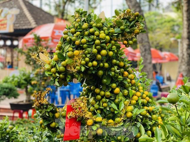 Quất cảnh hình chuột khan hiếm ở chợ hoa Sài Gòn ảnh 5