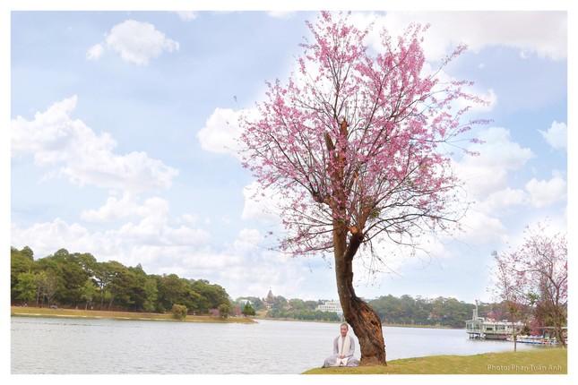 Đà Lạt rực rỡ sắc Xuân qua chùm ảnh hoa mai anh đào nở đẹp mê lòng người ảnh 9