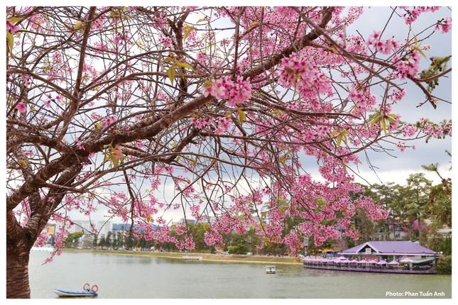 Đà Lạt rực rỡ sắc Xuân qua chùm ảnh hoa mai anh đào nở đẹp mê lòng người ảnh 16