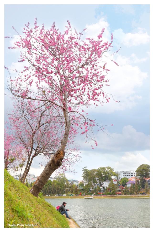 Đà Lạt rực rỡ sắc Xuân qua chùm ảnh hoa mai anh đào nở đẹp mê lòng người ảnh 10