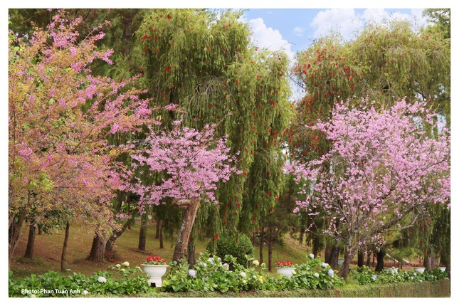Đà Lạt rực rỡ sắc Xuân qua chùm ảnh hoa mai anh đào nở đẹp mê lòng người ảnh 2