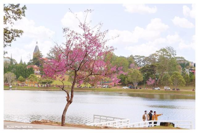 Đà Lạt rực rỡ sắc Xuân qua chùm ảnh hoa mai anh đào nở đẹp mê lòng người ảnh 12