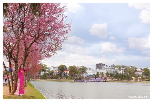 Đà Lạt rực rỡ sắc Xuân qua chùm ảnh hoa mai anh đào nở đẹp mê lòng người ảnh 5