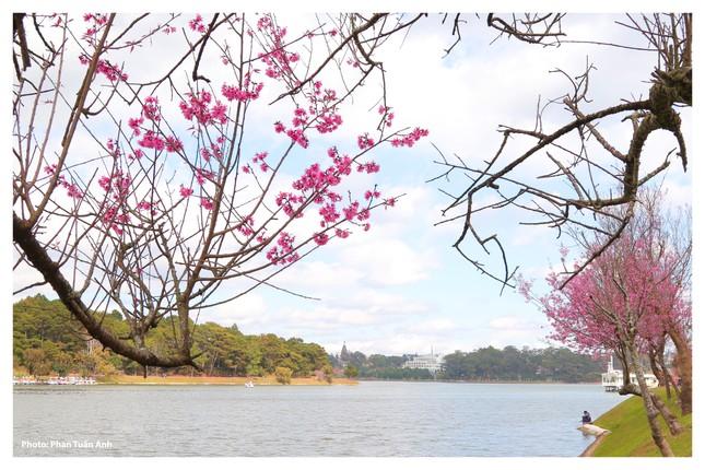 Đà Lạt rực rỡ sắc Xuân qua chùm ảnh hoa mai anh đào nở đẹp mê lòng người ảnh 6