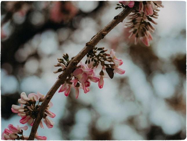 Vẻ đẹp mơ màng của nữ sinh Huế giữa mùa hoa điệp anh đào  ảnh 6