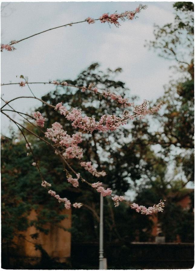 Vẻ đẹp mơ màng của nữ sinh Huế giữa mùa hoa điệp anh đào  ảnh 4