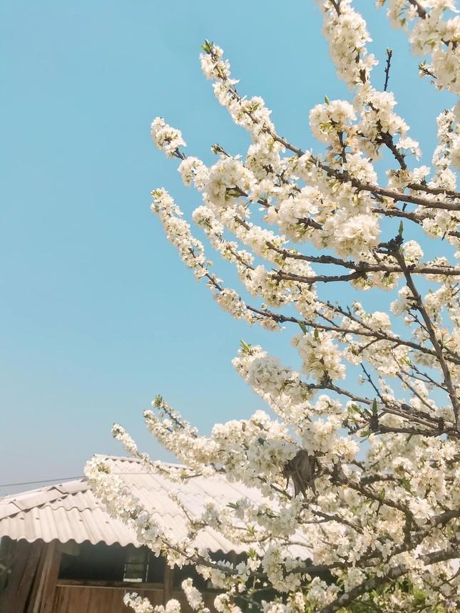 """Cô giáo trẻ hóa thân thành """"nàng thơ"""" giữa rừng hoa mận Sa Pa ảnh 8"""