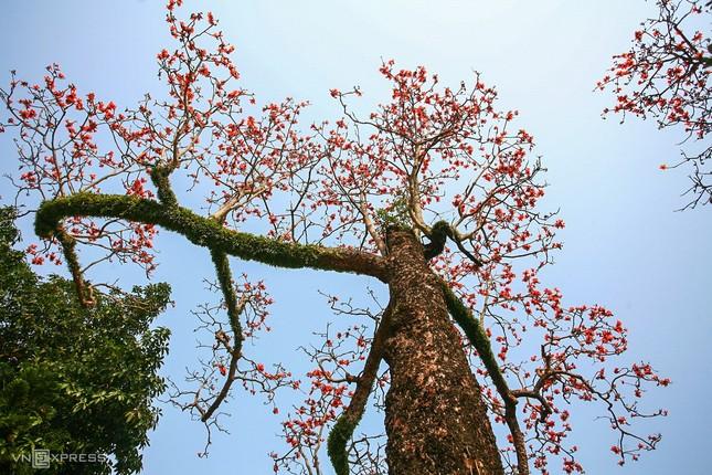 Rực đỏ hoa gạo trước sân chùa Thầy ảnh 4