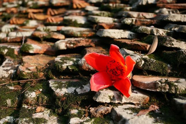 Rực đỏ hoa gạo trước sân chùa Thầy ảnh 6