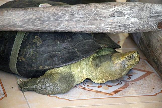 'Cụ rùa' sống dưới tượng phật Quan Âm trong chùa ở miền Tây ảnh 10