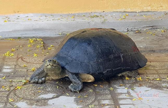 'Cụ rùa' sống dưới tượng phật Quan Âm trong chùa ở miền Tây ảnh 1