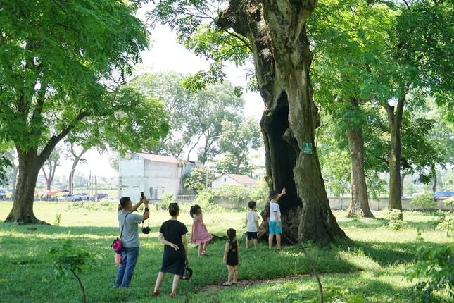 Rừng lim cổ thụ ở Hà Nội ảnh 3