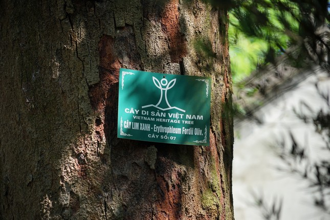 Rừng lim cổ thụ ở Hà Nội ảnh 4