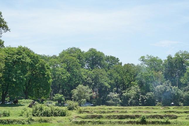 Rừng lim cổ thụ ở Hà Nội ảnh 1