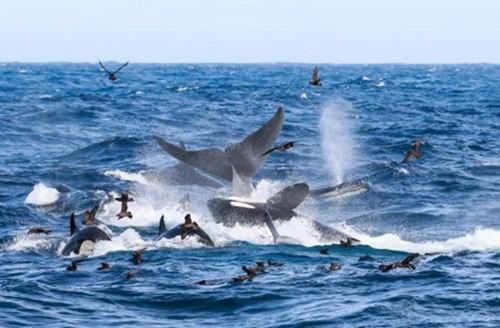 Ngoạn mục cảnh cá voi xanh 16m bị 70 cá voi sát thủ truy sát và hủy diệt ảnh 1