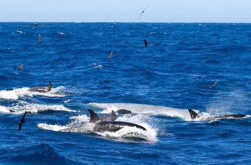 Ngoạn mục cảnh cá voi xanh 16m bị 70 cá voi sát thủ truy sát và hủy diệt ảnh 2