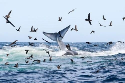 Ngoạn mục cảnh cá voi xanh 16m bị 70 cá voi sát thủ truy sát và hủy diệt ảnh 3