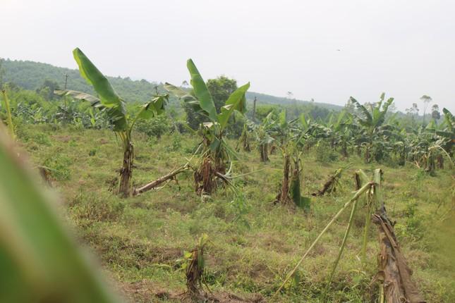 Tan hoang bãi chuối trăm ha trong siêu dự án nghìn tỷ nuôi bò Bình Hà ảnh 4