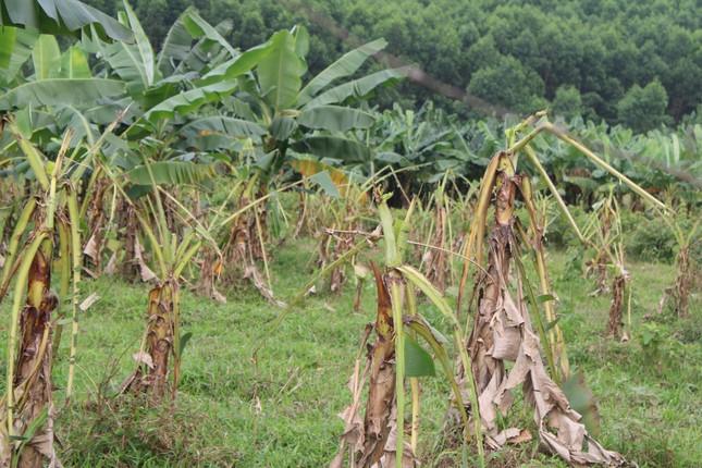 Tan hoang bãi chuối trăm ha trong siêu dự án nghìn tỷ nuôi bò Bình Hà ảnh 7