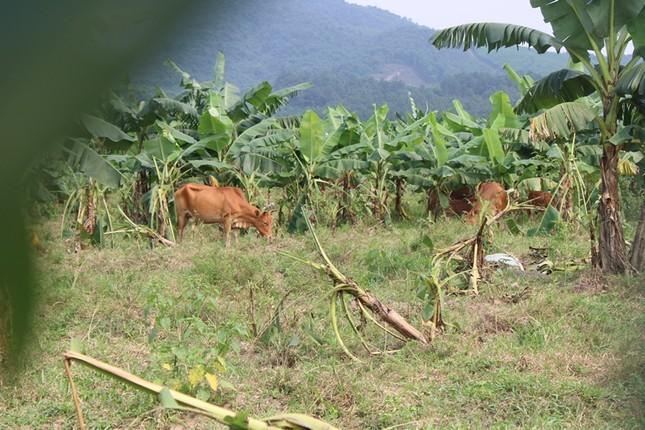 Tan hoang bãi chuối trăm ha trong siêu dự án nghìn tỷ nuôi bò Bình Hà ảnh 3
