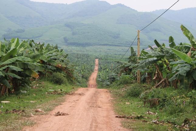 Tan hoang bãi chuối trăm ha trong siêu dự án nghìn tỷ nuôi bò Bình Hà ảnh 1