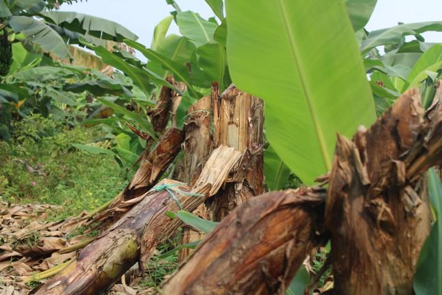 Tan hoang bãi chuối trăm ha trong siêu dự án nghìn tỷ nuôi bò Bình Hà ảnh 2