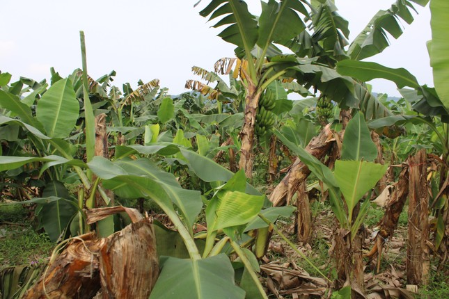 Tan hoang bãi chuối trăm ha trong siêu dự án nghìn tỷ nuôi bò Bình Hà ảnh 6