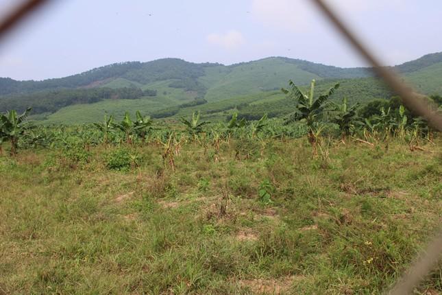 Tan hoang bãi chuối trăm ha trong siêu dự án nghìn tỷ nuôi bò Bình Hà ảnh 9