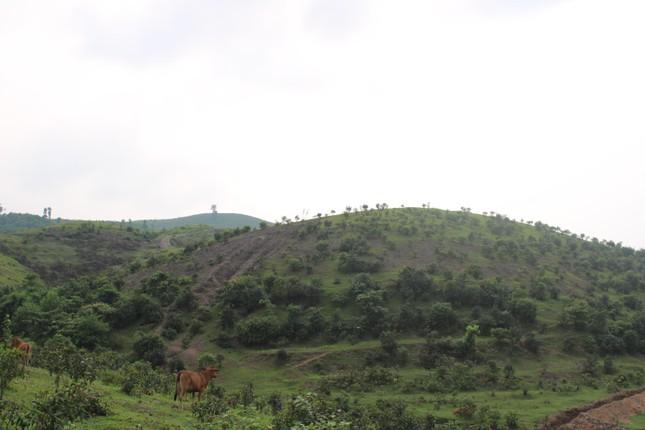 Tan hoang bãi chuối trăm ha trong siêu dự án nghìn tỷ nuôi bò Bình Hà ảnh 10