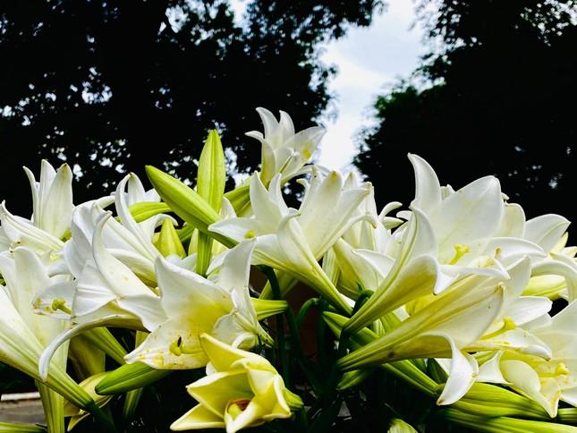 Phố phường Hà Nội lãng mạn với sắc trắng hoa Loa kèn ảnh 13