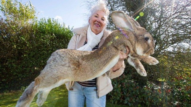Chú thỏ khủng nhất hành tinh cao bằng trẻ 8 tuổi mất tích, có thể bị đánh cắp ảnh 1