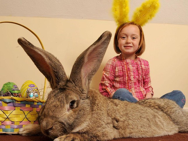 Chú thỏ khủng nhất hành tinh cao bằng trẻ 8 tuổi mất tích, có thể bị đánh cắp ảnh 2