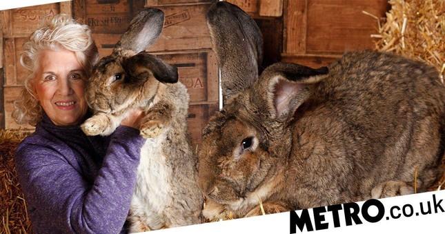 Chú thỏ khủng nhất hành tinh cao bằng trẻ 8 tuổi mất tích, có thể bị đánh cắp ảnh 3
