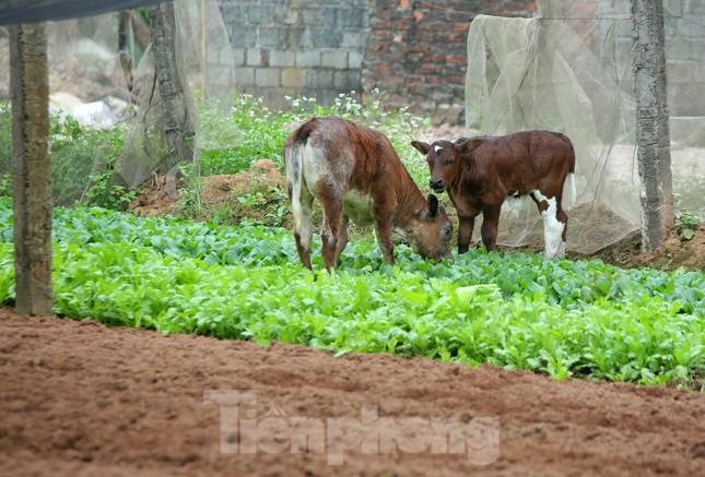 Nuốt nước mắt để kệ cho bò ăn rau xanh sau Tết ảnh 11