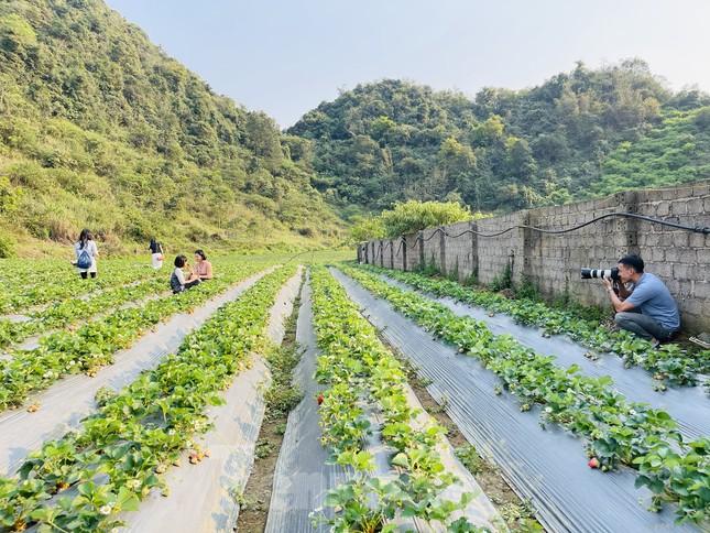Hết mùa hoa lê, giới trẻ lại đổ xô checkin vườn dâu tây ở Mộc Châu ảnh 12