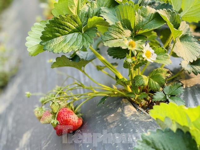 Hết mùa hoa lê, giới trẻ lại đổ xô checkin vườn dâu tây ở Mộc Châu ảnh 10