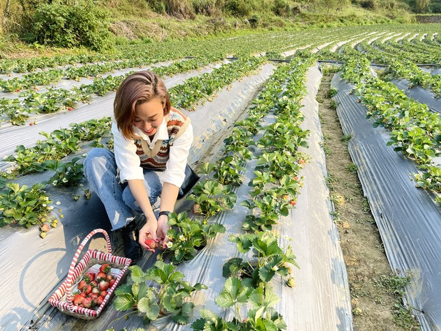 Hết mùa hoa lê, giới trẻ lại đổ xô checkin vườn dâu tây ở Mộc Châu ảnh 7