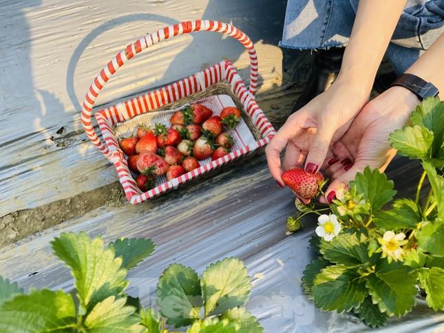 Hết mùa hoa lê, giới trẻ lại đổ xô checkin vườn dâu tây ở Mộc Châu ảnh 3