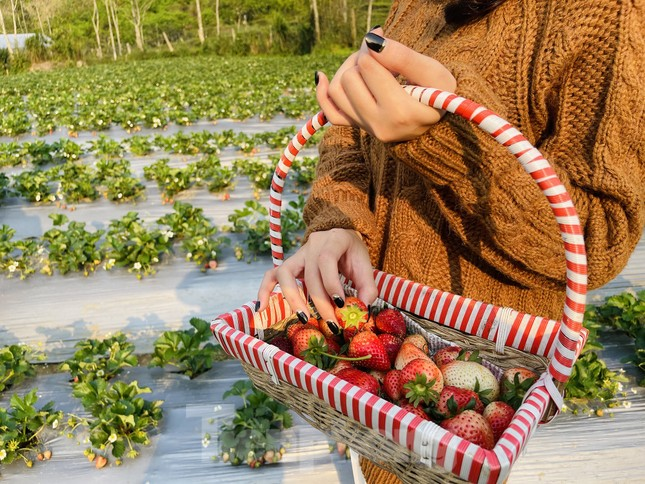Hết mùa hoa lê, giới trẻ lại đổ xô checkin vườn dâu tây ở Mộc Châu ảnh 6