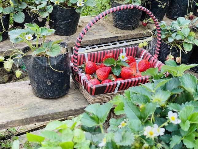 Hết mùa hoa lê, giới trẻ lại đổ xô checkin vườn dâu tây ở Mộc Châu ảnh 11