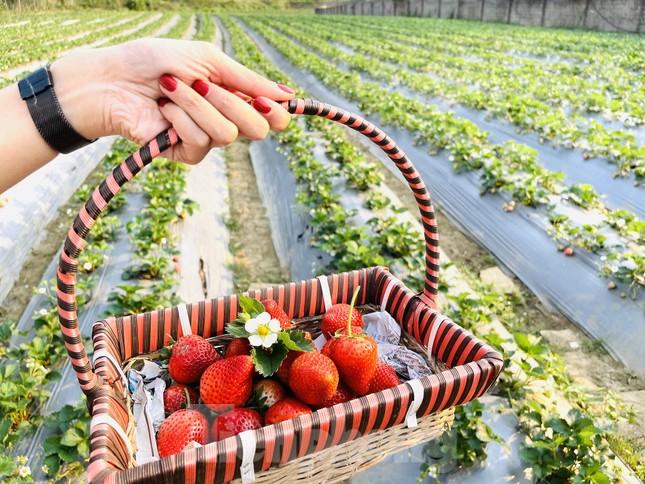 Hết mùa hoa lê, giới trẻ lại đổ xô checkin vườn dâu tây ở Mộc Châu ảnh 9