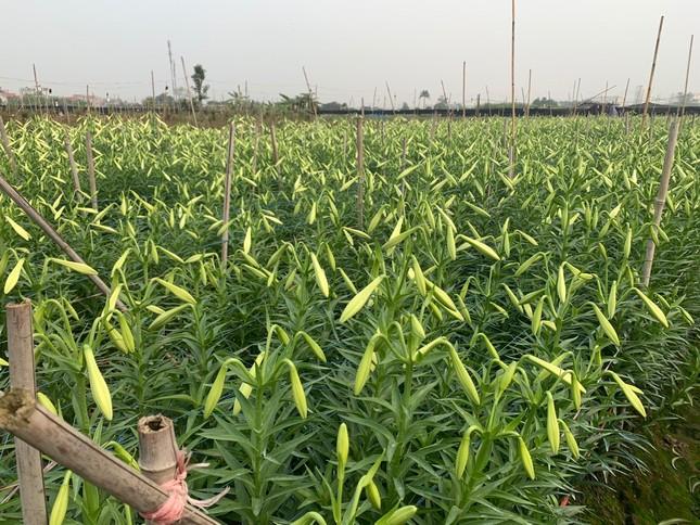 Hoa loa kèn vào mùa siêu rẻ, 'mãn nhãn' khu vườn nghìn bông của người phụ nữ Hà Nội ảnh 2