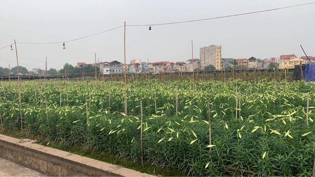 Hoa loa kèn vào mùa siêu rẻ, 'mãn nhãn' khu vườn nghìn bông của người phụ nữ Hà Nội ảnh 1