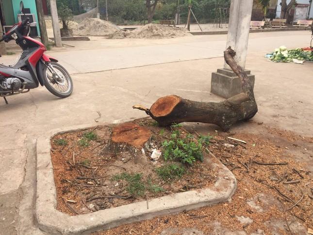Đòi lại vỉa hè ở Hà Nội: Cây xanh có tội gì mà bị chặt? ảnh 2