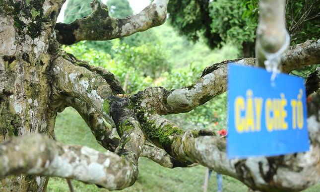 Cận cảnh cây chè tổ Suối Giàng có thân lớn trọn một vòng tay ảnh 5