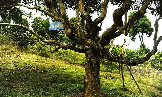 Cận cảnh cây chè tổ Suối Giàng có thân lớn trọn một vòng tay ảnh 4