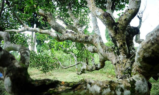 Cận cảnh cây chè tổ Suối Giàng có thân lớn trọn một vòng tay ảnh 6