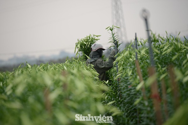Nhộn nhịp cánh đồng hoa loa kèn đang thu hoạch ở Hà Nội ảnh 1