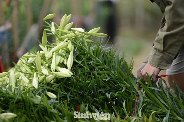 Nhộn nhịp cánh đồng hoa loa kèn đang thu hoạch ở Hà Nội ảnh 12
